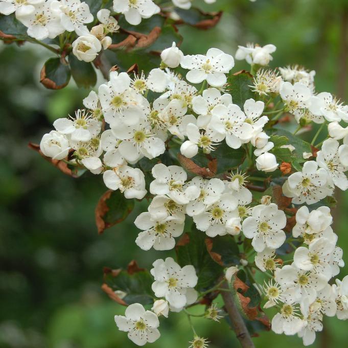 Aubépines à fleurs blanches Crataegus monogyna 'Stricta'