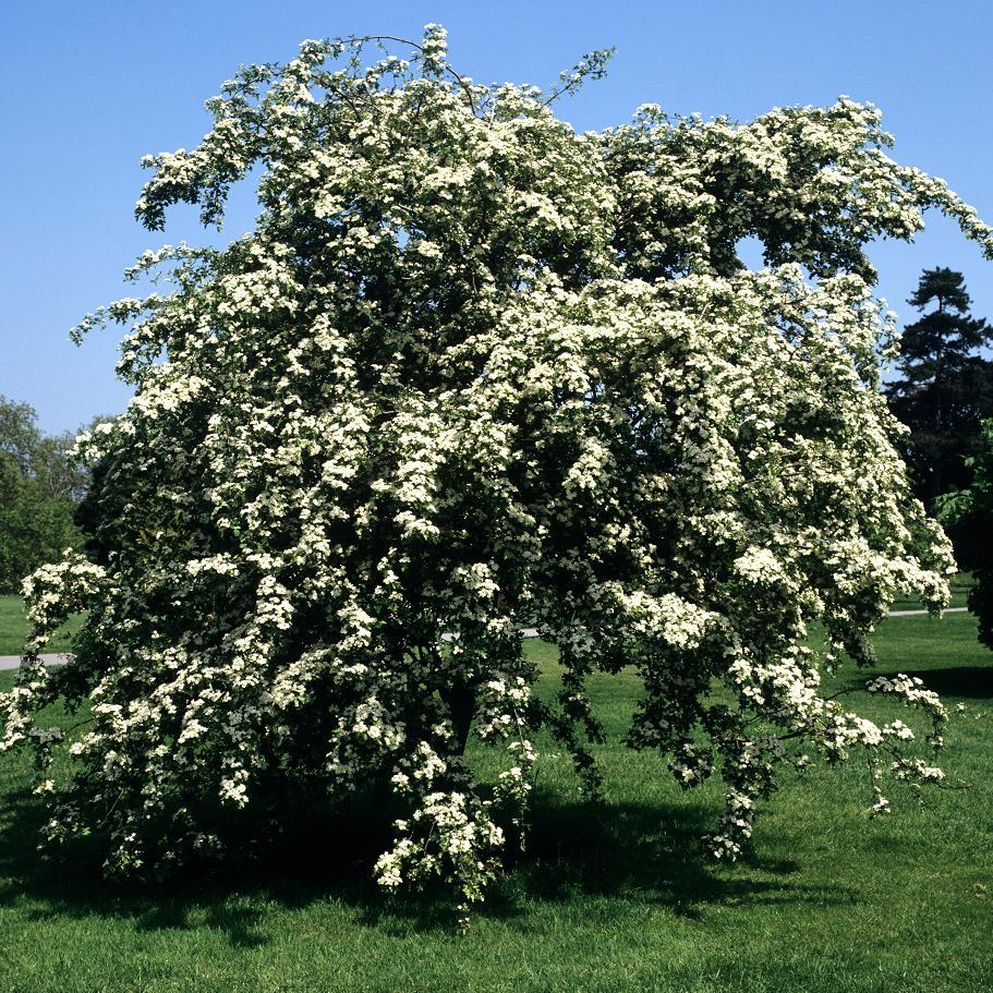 Aubépines à fleurs blanches Crataegus laevigata 'Plena'