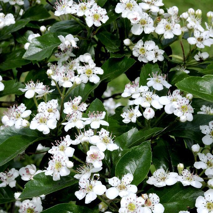 Aubépines à fleurs blanches Crataegus monogyna