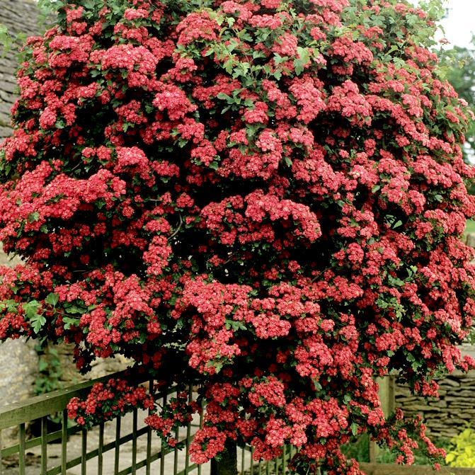 Aubépines à fleurs colorées Crataegus laevigata 'Crimson Cloud'