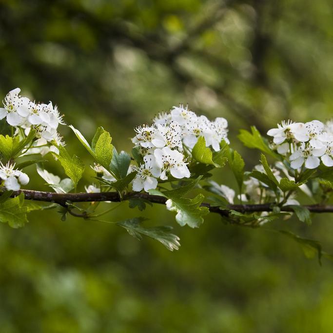 Aubépines à fleurs blanches Crataegus monogyna 'Compacta'