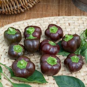 Poivrons miniatures Poivron Mini 'Chocolate Bell' (Capsicum annuum)