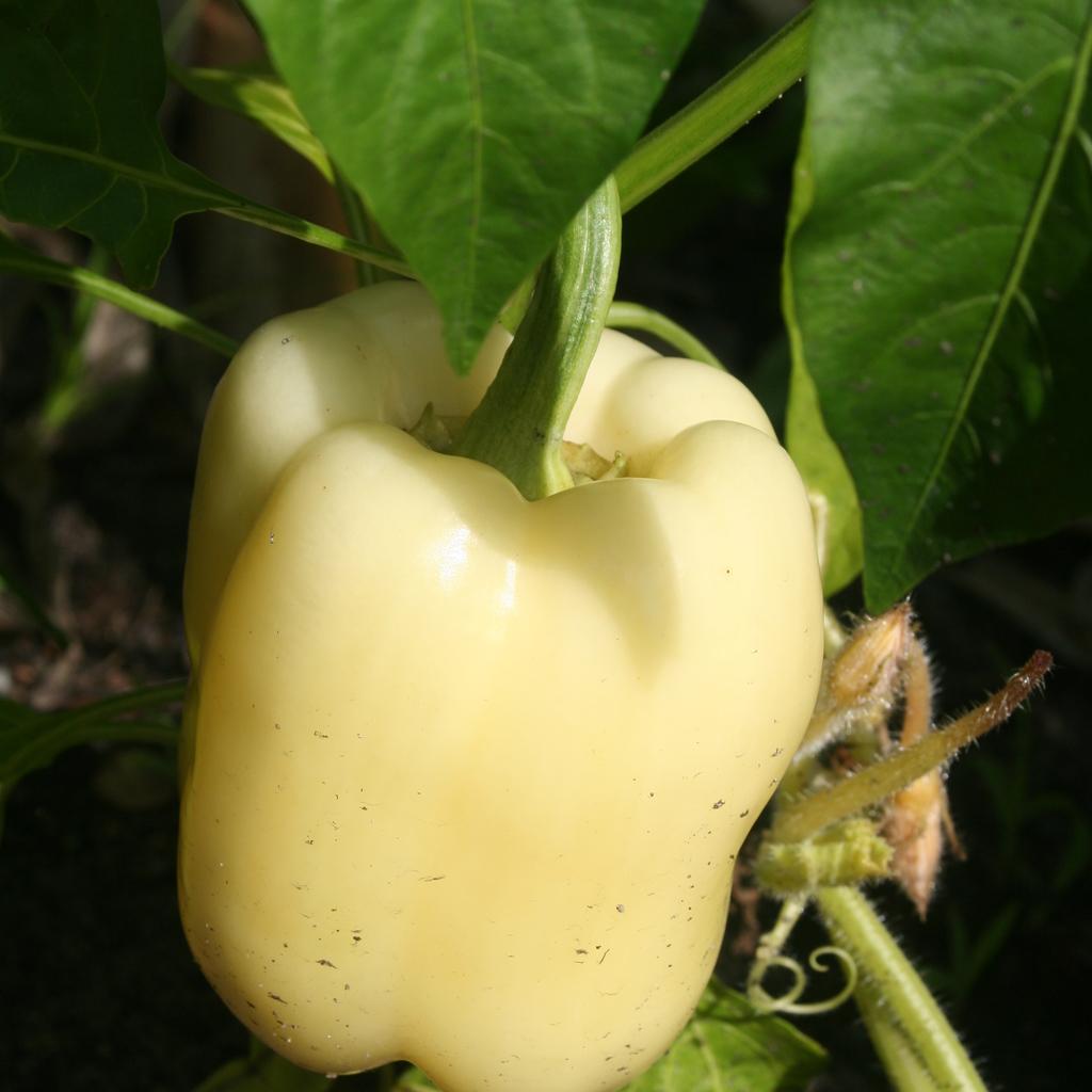 Autres couleurs Poivron blanc de Hongrie (Capsicum annuum)