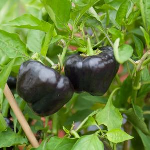 Autres couleurs Poivron noir Bapurple (Capsicum annuum)