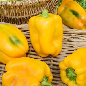 Poivrons jaunes Poivron Twingo F1 (Capsicum annuum)