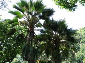 Semis et plantation de Pritchardia