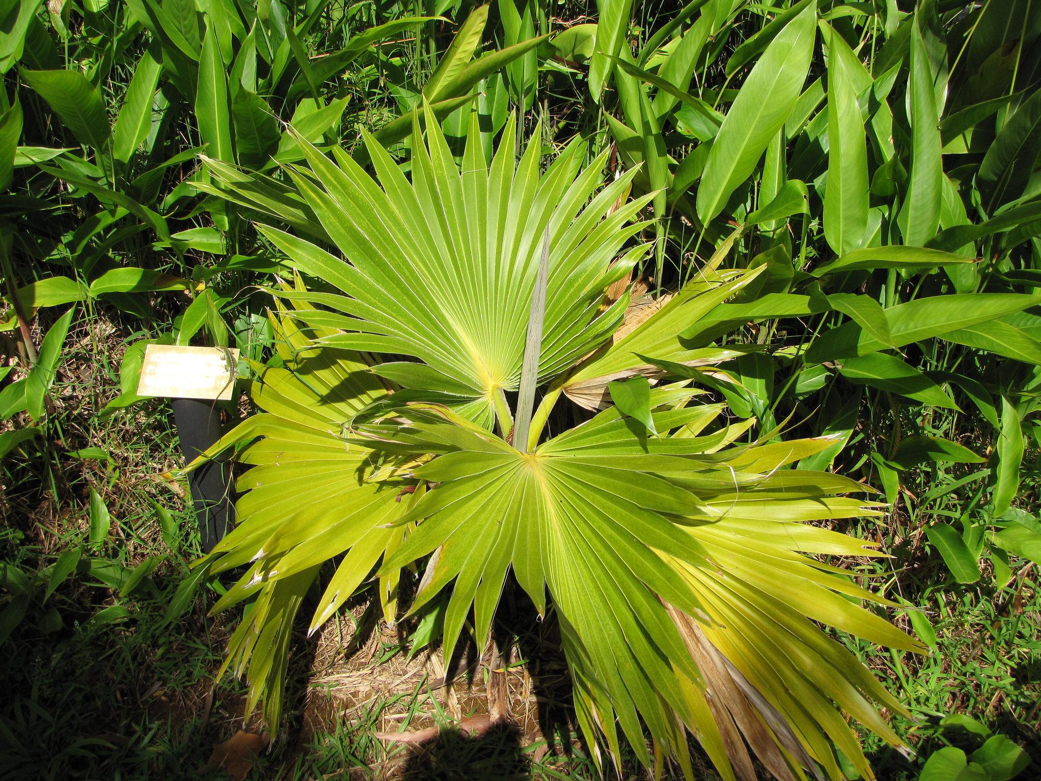 Pritchardia planter et entretenir ooreka for Ou trouver de belles plantes artificielles