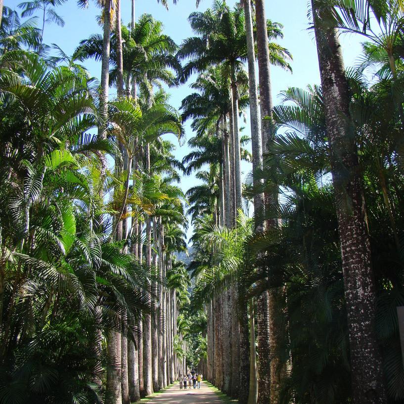 Palmier royal des Caraïbes (Roystonea oleracea)