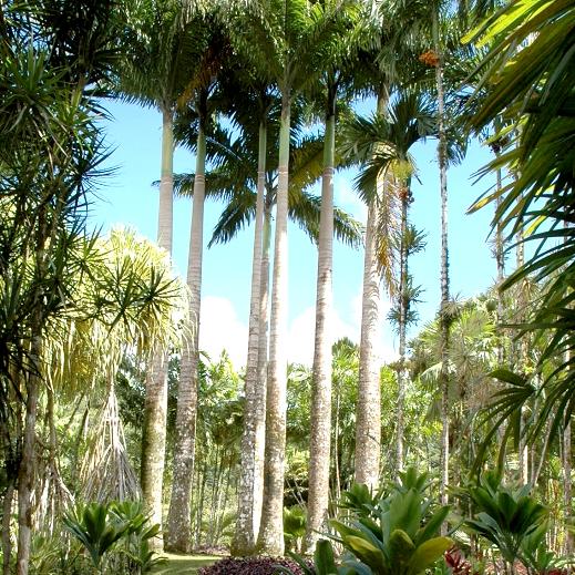 Palmier royal (Roystonea regia)