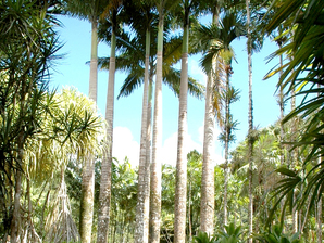 Multiplication du palmier royal