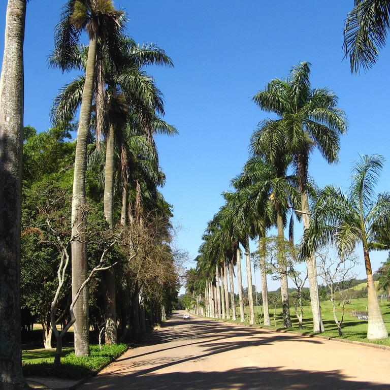 Palmier royal de Porto Rico (Roystonea borinquenia)
