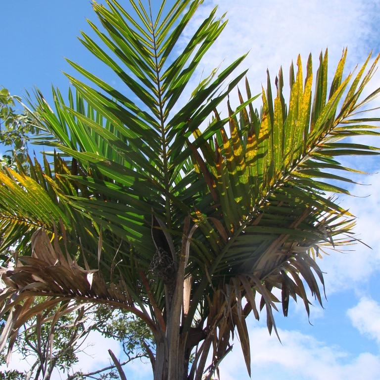 Coco comosa (Syagrus comosa)