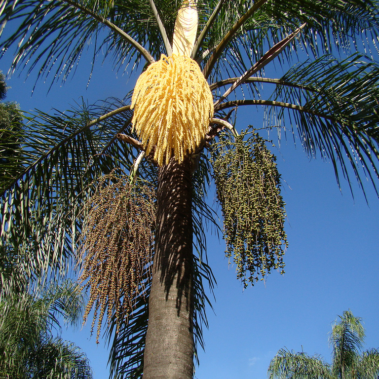 Cocos plumosa, Palmier reine (Syagrus romanzoffiana)