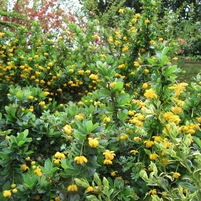 Espèces ou variétés à feuillage persistant Berberis buxifolia 'Nana'