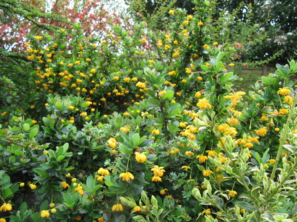 berbéris : planter et tailler – ooreka