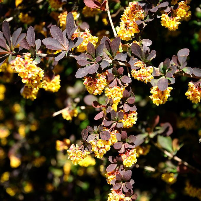 Espèces ou variétés caduques Berberis x ottawensis f. purpurea 'Superba'