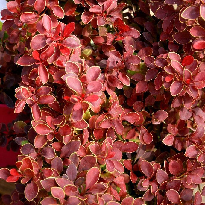 Espèces ou variétés caduques B. thunbergii f. atropurpurea