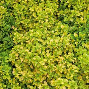 Espèces ou variétés caduques 'Tiny Gold'