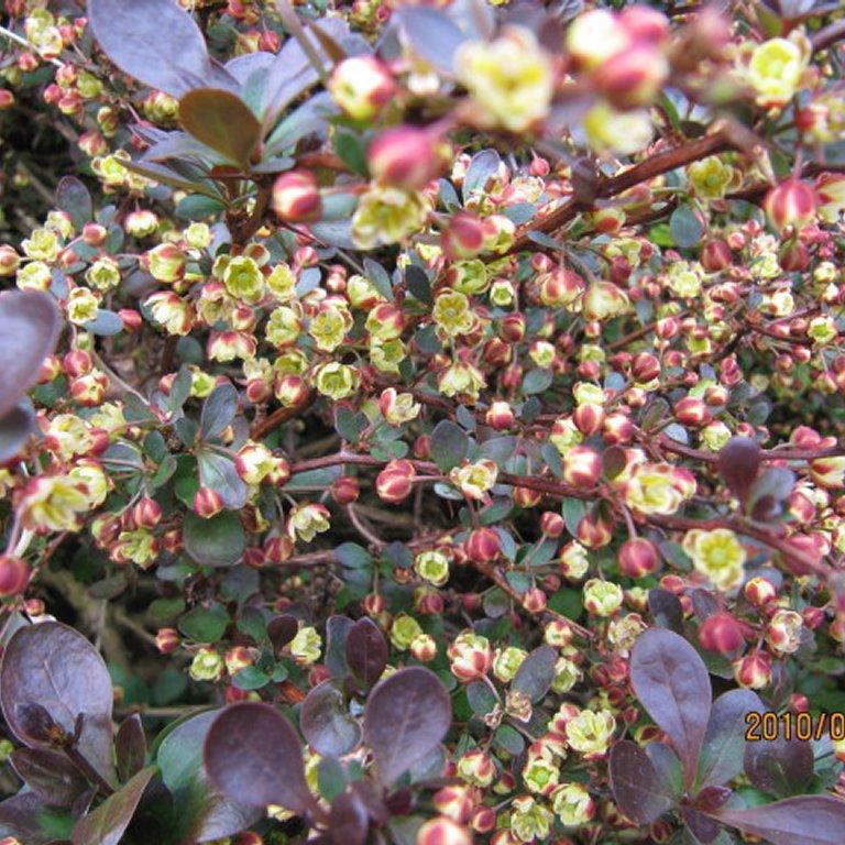 Espèces ou variétés caduques B. thunbergii f. atropurpurea 'Bagatelle'