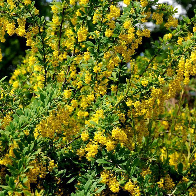 Espèces ou variétés à feuillage persistant Berberis x stenophylla