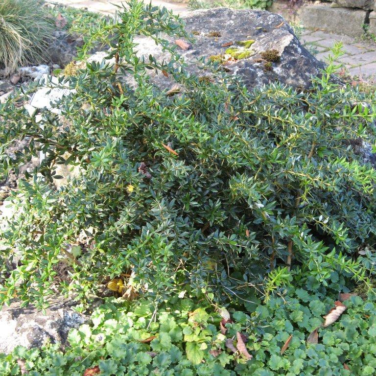 Espèces ou variétés à feuillage persistant Berberis candidula