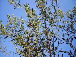 Culture et entretien du <em>Baccharis halimifolia</em>