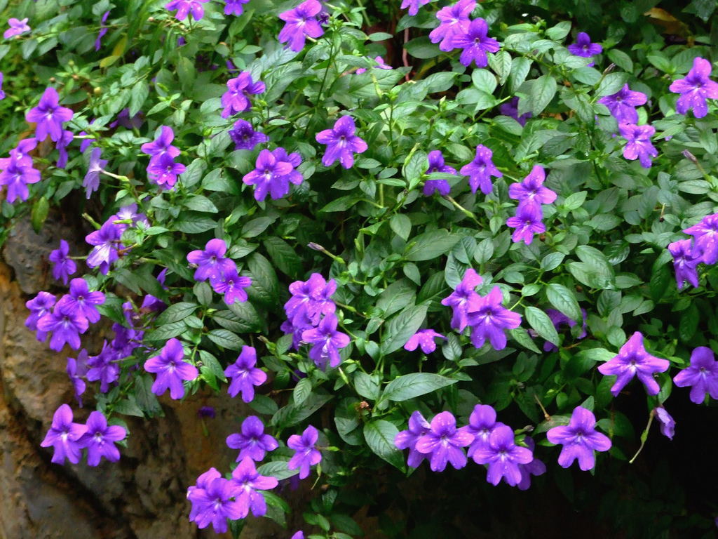 Browallia planter et cultiver ooreka for Plantas baratas