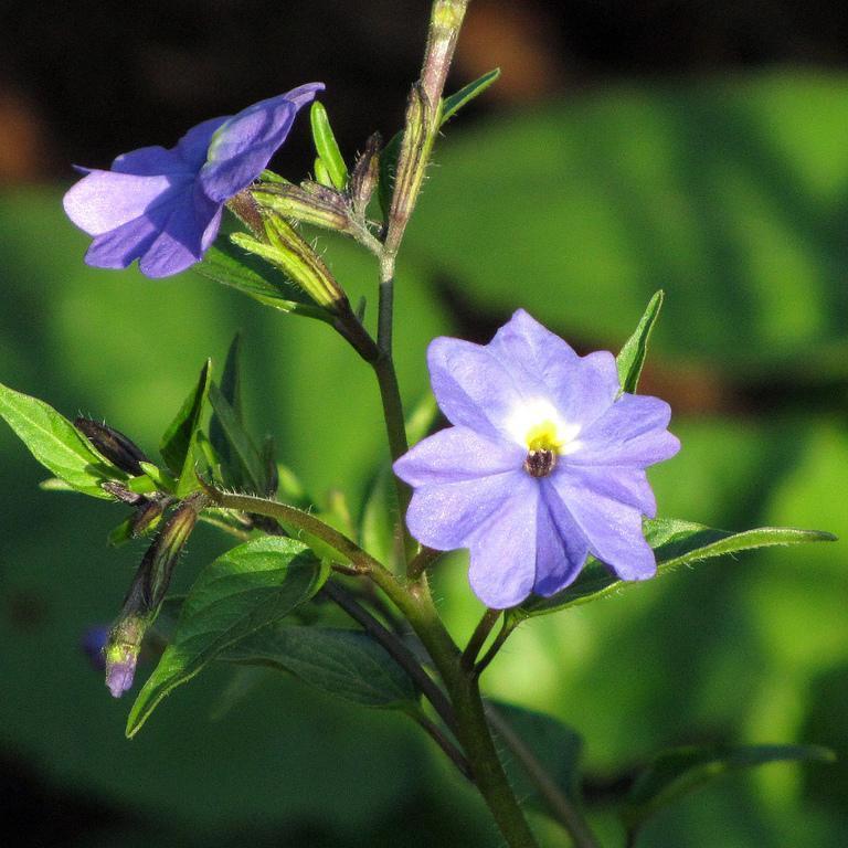 Browallia americana 'Blue Lady'
