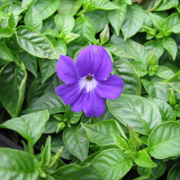 Browallia speciosa 'Bell'