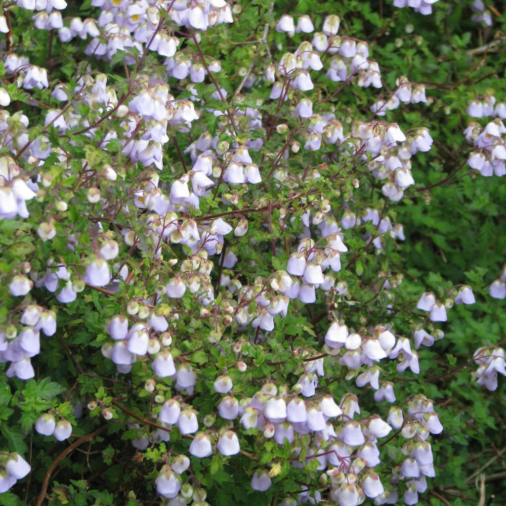 Jovellane violette (Jovellana violacea)