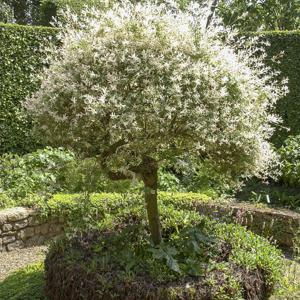 Saule crevette : planter et entretenir – Ooreka