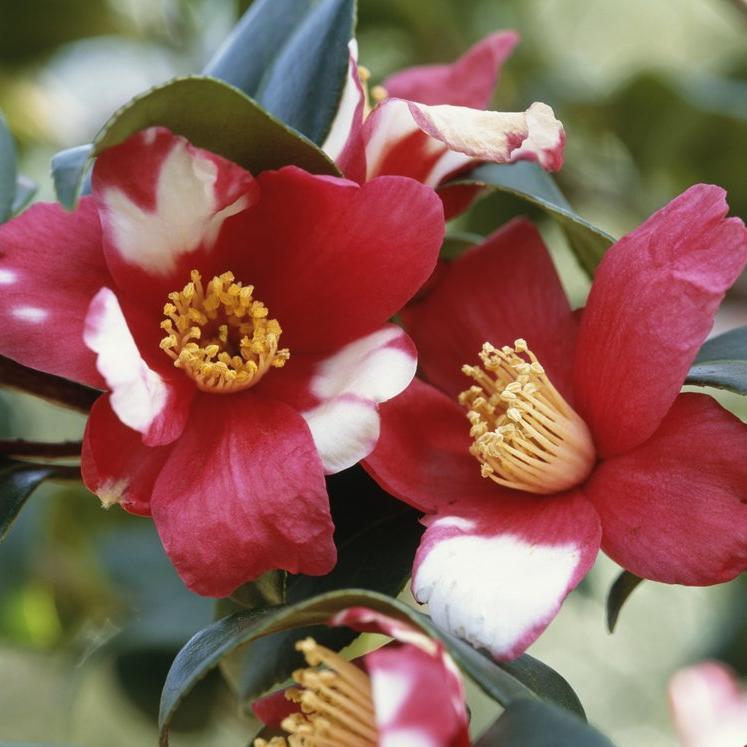 Camélias japonica et hybrides 'Robert Lasson'
