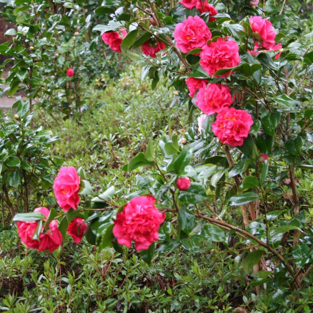 Camélias d'automne issus de C. sasanqua Camellia hiemalis 'Bonanza'