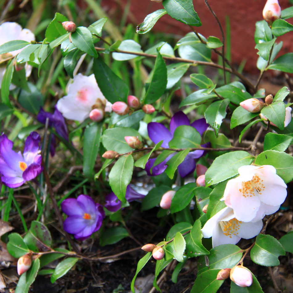 Camélias à floraison printanière 'Quintessence'