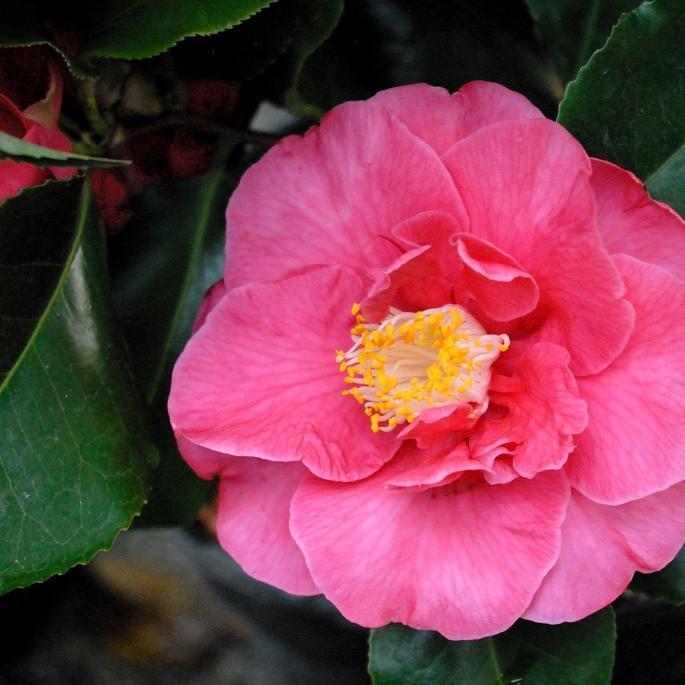 Camélias d'automne issus de C. sasanqua Camellia hiemalis 'Shôwa-no-sakae'