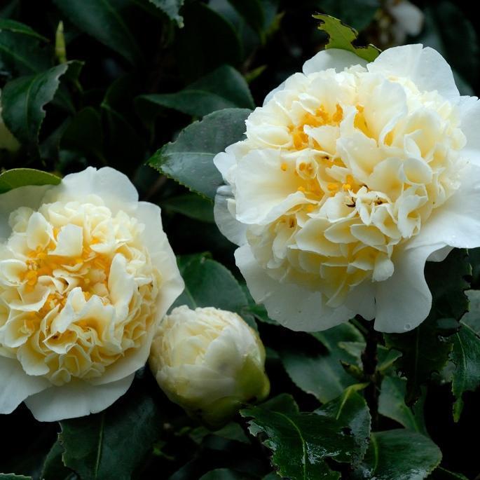 Camélias japonica et hybrides C. x williamsii 'Jury' s Yellow'