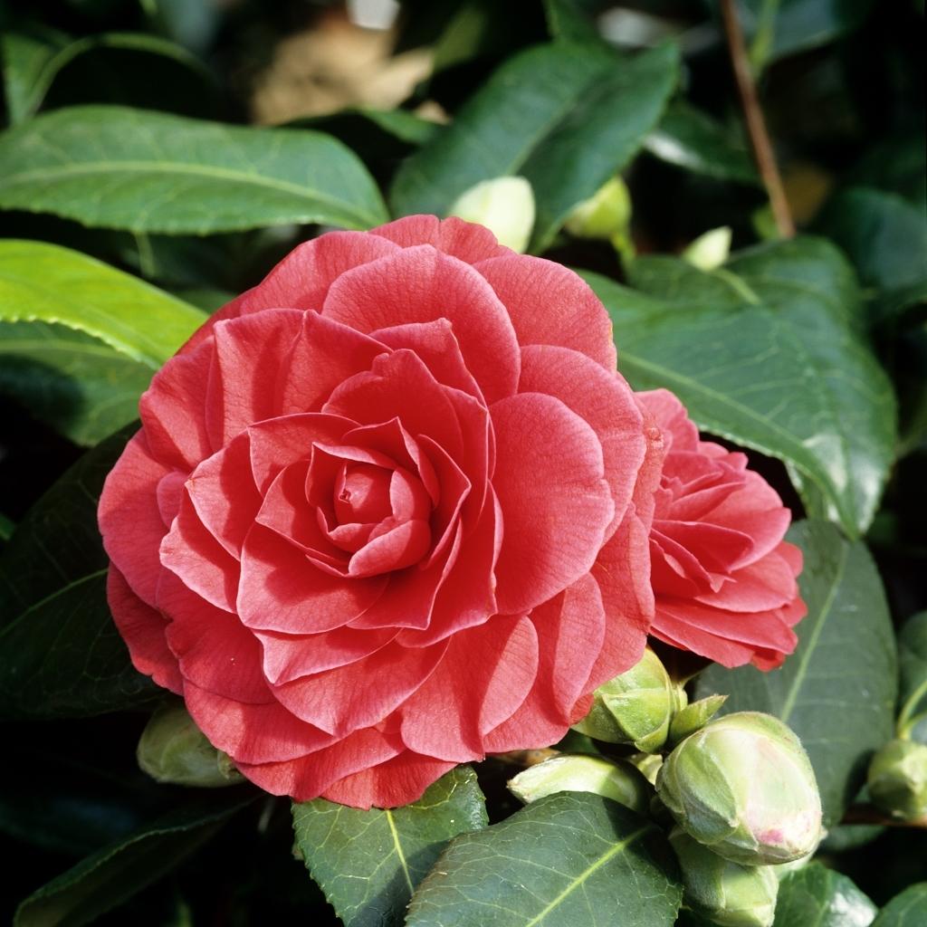 Camélias à floraison printanière Camellia japonica 'Manuroa Road'