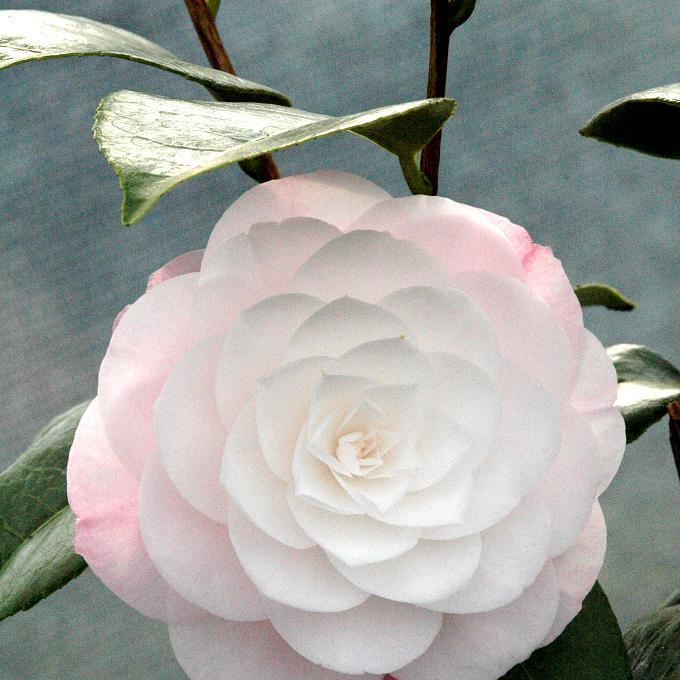 Camélias à floraison printanière 'Désire'