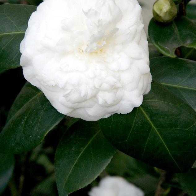 Camélias japonica et hybrides Nobilissima