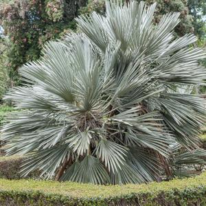 Palmier trident (Trithrinax campestris)
