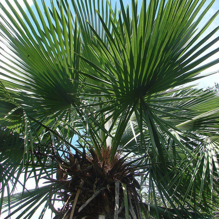 Trithrinax brasiliensis (syn. Trithrinax acanthocoma)