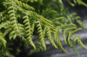 Multiplication du <em>Dryopteris</em>