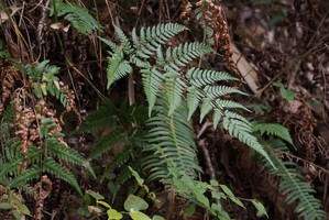 Plantation du <em>Dryopteris</em>