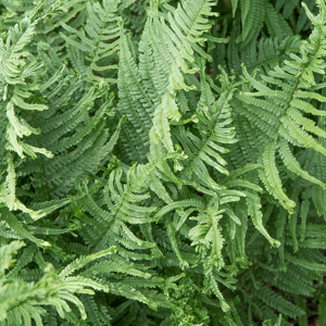 Dryopteris pseudomonas (syn. D. affinis, D. borreri) 'Cristata The King'