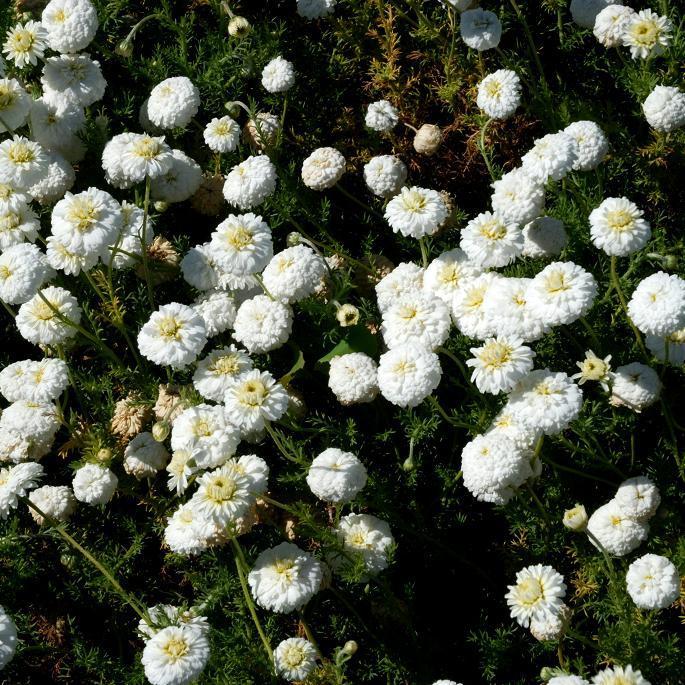Camomille romaine à fleurs doubles 'Flore Pleno'