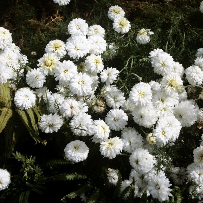 Camomille romaine à fleurs simples Camomille officinale (Chamæmelum nobile)