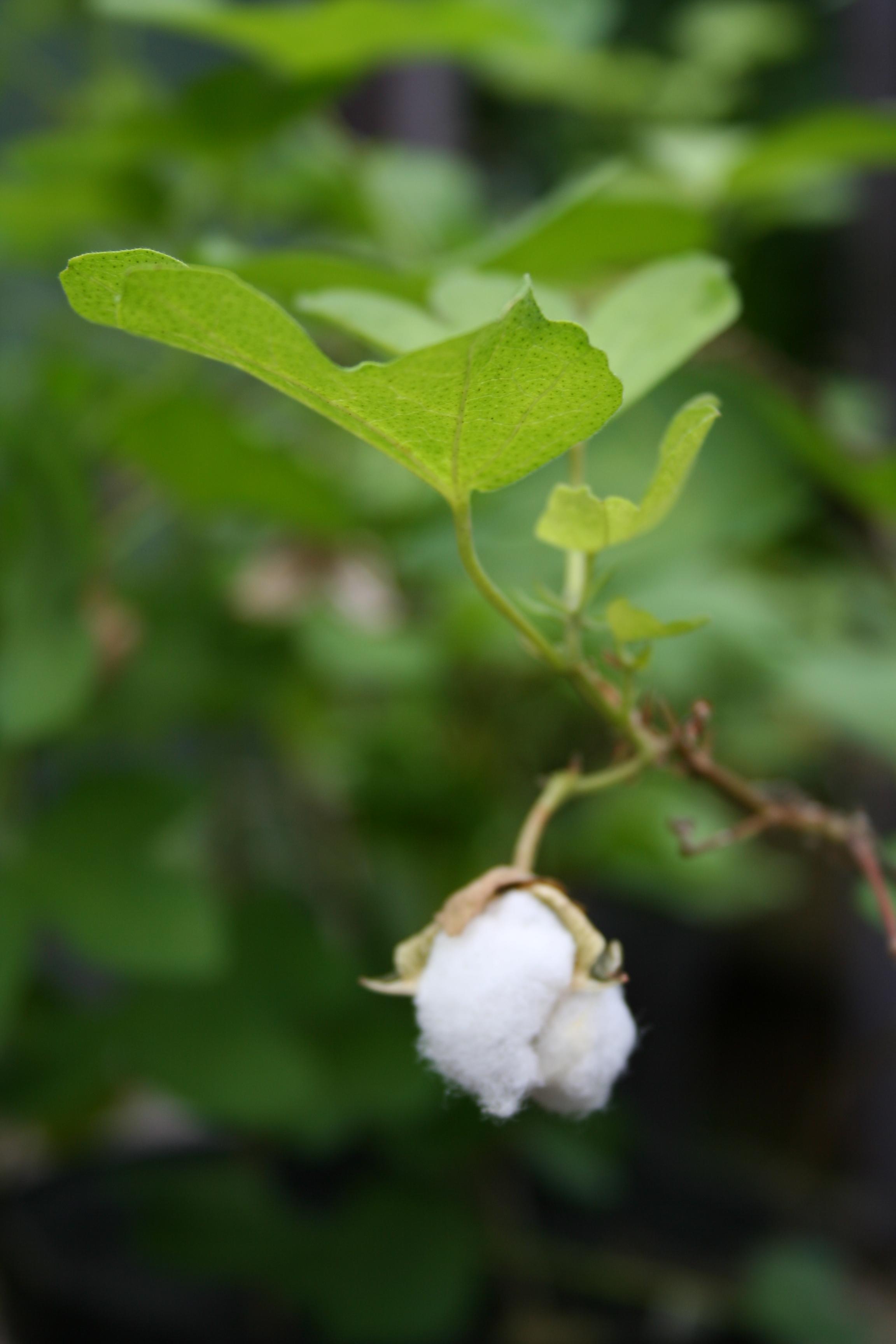 Yard, Garden & Outdoor Living Gossypium Herbaceum ????10 Graines De Cotonnier