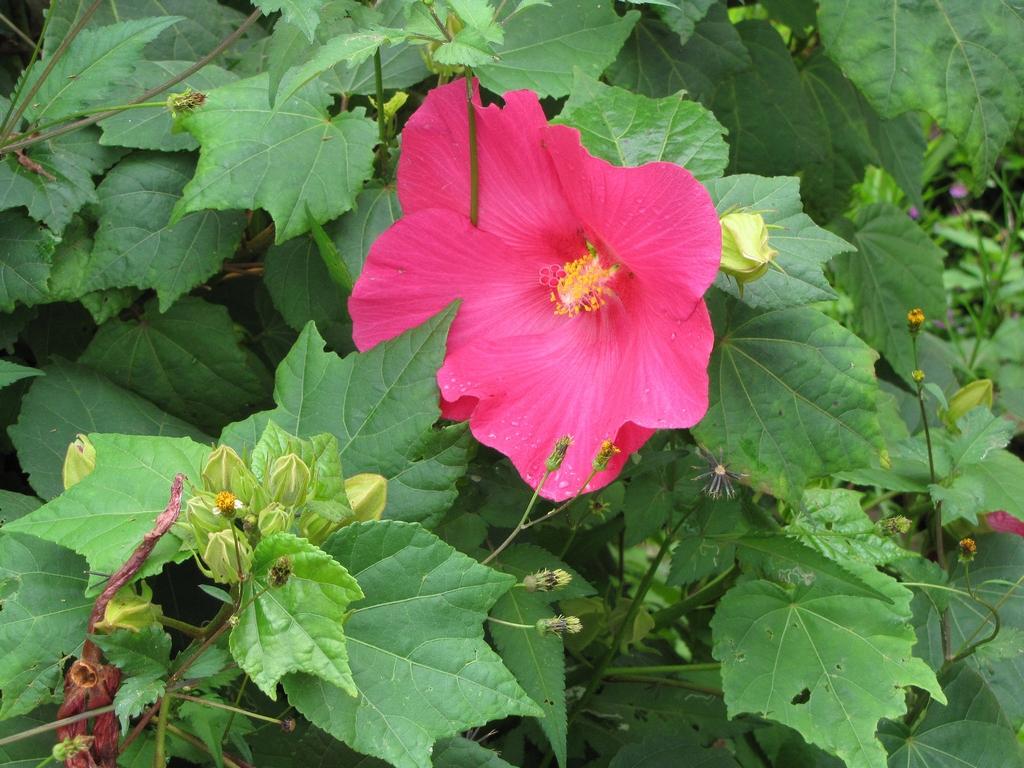 Hibiscus des marais : planter et entretenir – Ooreka