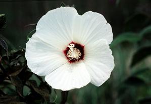 Multiplication de l'hibiscus des marais