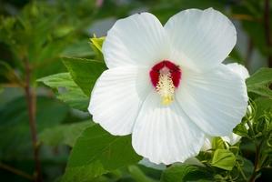Plantation de l'hibiscus des marais